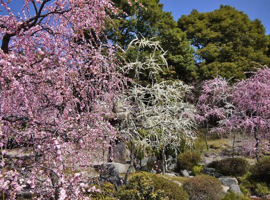 京都伏見の城南宮「しだれ梅と椿まつり」