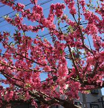 大阪福島の占いサロン観音庵の桜