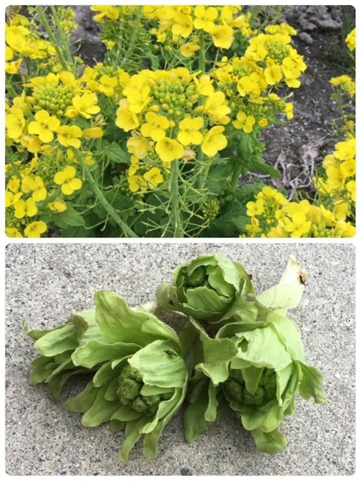菩提菜の花