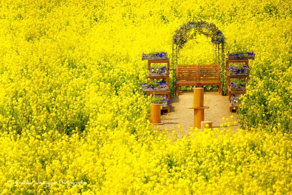 大阪京橋、福島占いサロン観音庵のブログ 菜の花畑