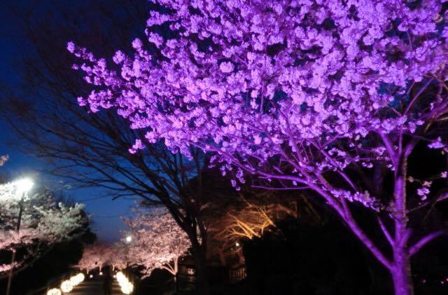 須磨浦公園の敦盛桜 『陽桜』と『夜桜』